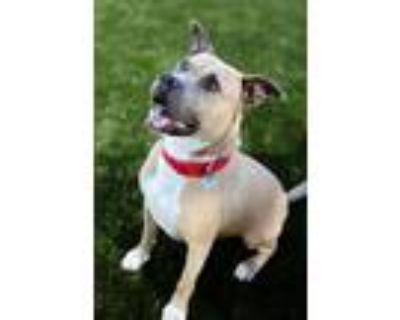Adopt BABA YEGA a Tan/Yellow/Fawn - with White Mastiff / Staffordshire Bull