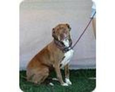 Adopt Honeybun - PS a Brown/Chocolate Mastiff / Pit Bull Terrier / Mixed dog in