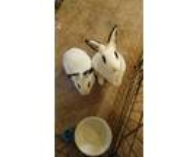Adopt Charleston & LuLu a Bunny Rabbit, Hotot