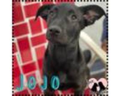 Adopt Jojo a Black Labrador Retriever / Mixed dog in Chandler, AZ (31612881)