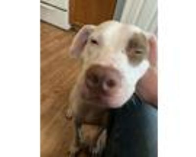 Adopt Mia a White - with Brown or Chocolate American Pit Bull Terrier / Mixed