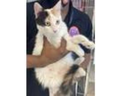 Adopt 48229655 a White Domestic Longhair / Mixed cat in El Paso, TX (31961307)