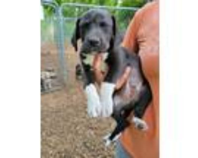 Adopt Jeter a Labrador Retriever / American Staffordshire Terrier / Mixed dog in