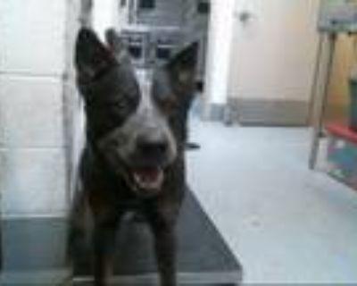 Adopt HOOEY a Australian Cattle Dog / Blue Heeler, Mixed Breed