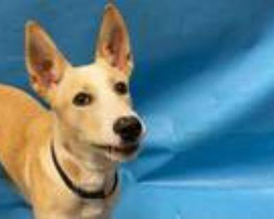 Adopt Bruno a Tan/Yellow/Fawn German Shepherd Dog / Mixed dog in Woodbury