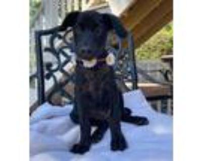 Adopt Zuri a Black Labrador Retriever / Terrier (Unknown Type