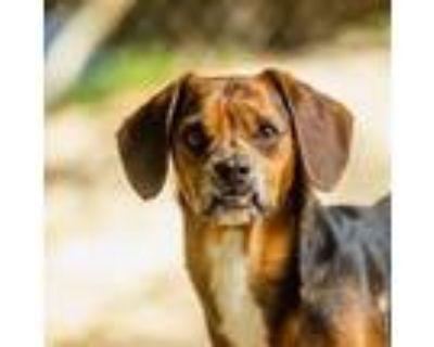 Adopt Sloth a Black Dachshund / Beagle / Mixed dog in Decatur, GA (31998164)