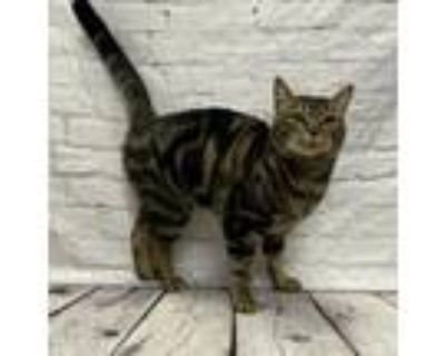 Jenny, Domestic Shorthair For Adoption In New Albany, Indiana