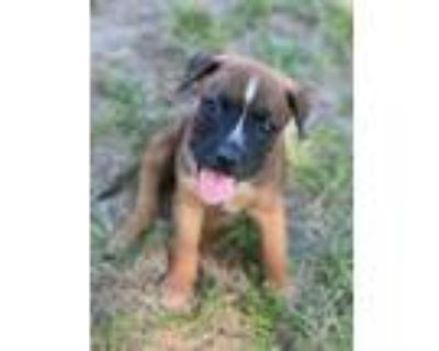 Adopt Clover a Brown/Chocolate - with Black Boxer / Labrador Retriever / Mixed