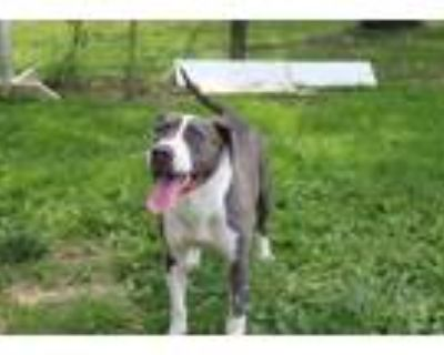 Adopt Crystal a Pit Bull Terrier / Mixed dog in Chestertown, MD (31185516)