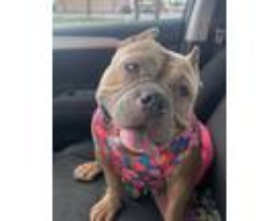 Adopt Mimosa (In Foster) a American Pit Bull Terrier / Mixed dog in New Orleans
