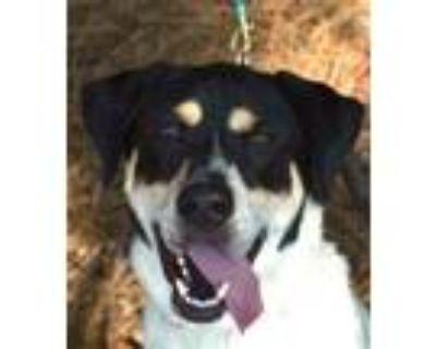 Adopt Deebo (Ziggy) a Australian Cattle Dog / Blue Heeler, Bernese Mountain Dog