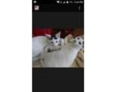 Adopt Brothers LOVE, please adopt us... a American Shorthair