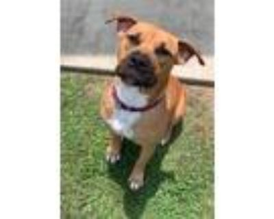 Adopt Linda a Staffordshire Bull Terrier, Mixed Breed