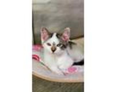 Adopt Etch a White Domestic Shorthair / Domestic Shorthair / Mixed cat in