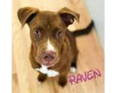 Adopt Raven a Brown/Chocolate Pit Bull Terrier / Mixed Breed (Medium) / Mixed