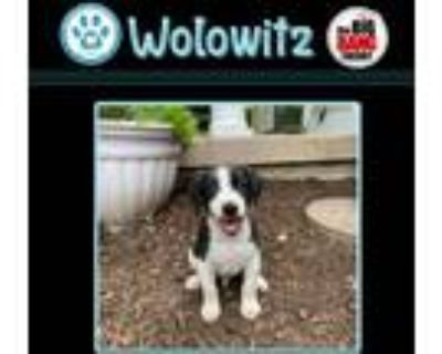 Adopt Harold Wolowitz (Big Bang Theory Pup) a White - with Black Pointer dog in