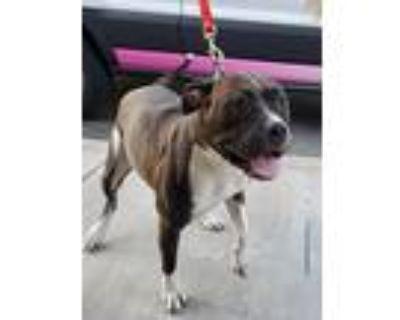 Martha, American Pit Bull Terrier For Adoption In Modesto, California