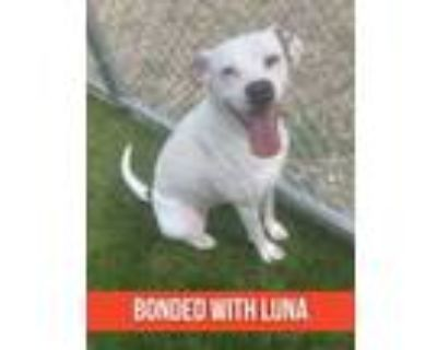 Adopt Sally (bonded with Luna) a White Boxer / Mixed dog in Noblesville