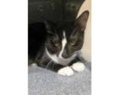 Adopt Smoke a All Black Domestic Shorthair / Domestic Shorthair / Mixed cat in