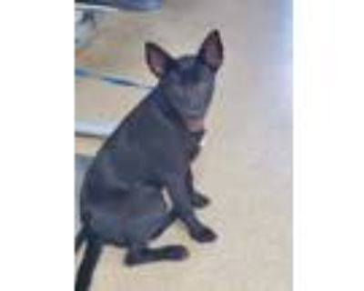 Adopt 48013892 a Black Shepherd (Unknown Type) / Mixed dog in Fort Worth
