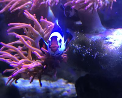 Bonded pair of Mocha Storm clownfish first sale!
