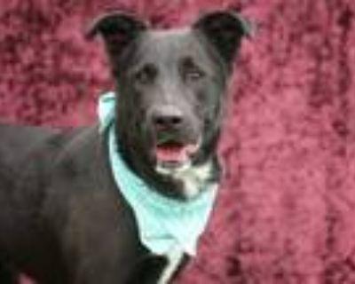 Adopt ARTHAS a Black Rottweiler / Labrador Retriever / Mixed dog in Los Angeles