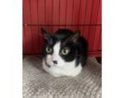 Adopt Lily a Black & White or Tuxedo Domestic Shorthair / Mixed (short coat) cat