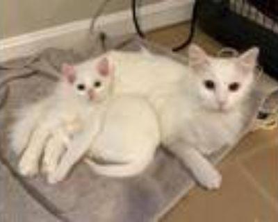 Adopt Duchess a White Turkish Angora / Mixed (medium coat) cat in Herndon