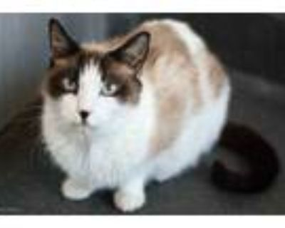 Adopt GOTTI a White (Mostly) Domestic Shorthair / Mixed (short coat) cat in