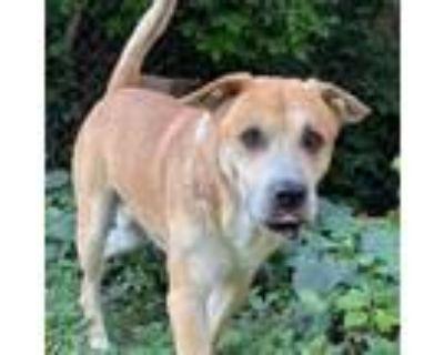 Adopt Slade a Tan/Yellow/Fawn Labrador Retriever / Mixed dog in St.