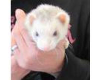 Adopt YUM a Silver or Gray Ferret / Mixed small animal in Derwood, MD (31973264)