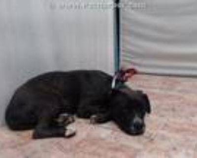 Adopt LAUREL a Pit Bull Terrier