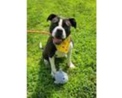 Adopt Louise a Boxer, Mixed Breed