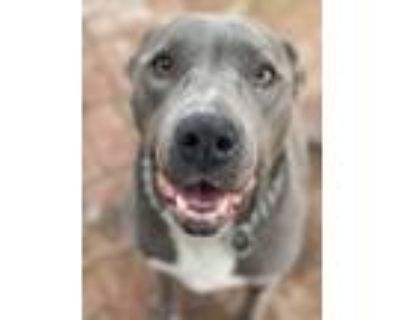 Adopt Rue (courtesy post) a Great Dane, Pit Bull Terrier
