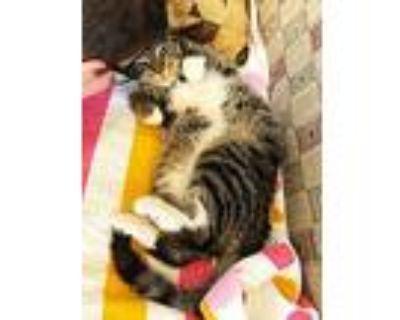 Herman, Domestic Shorthair For Adoption In Fairfax, Virginia