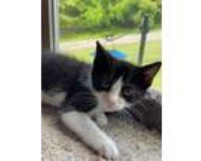 Adopt Domino a Black & White or Tuxedo Domestic Shorthair / Mixed (short coat)