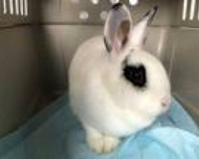 Adopt HONEY BUNNY a White Other/Unknown / Mixed rabbit in Pasadena