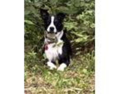 Adopt Lilly a Black - with White Border Collie / Boston Terrier / Mixed dog in