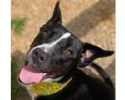 Adopt GIBBY a Black American Pit Bull Terrier / Mixed dog in Newport News