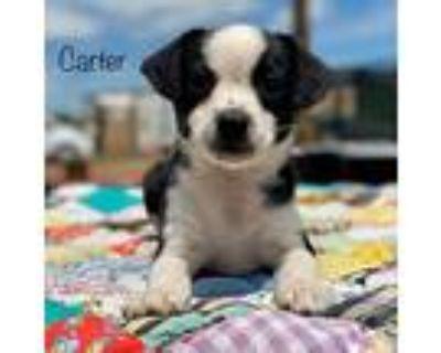 Carter, Boston Terrier For Adoption In Boulder, Colorado