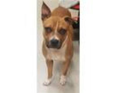 Adopt FANNI-MAY a Boxer, Mixed Breed