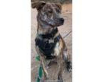 Adopt LEONA a Plott Hound, Terrier