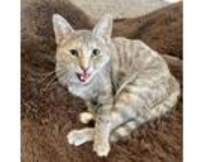 Adopt Sigrit a Gray or Blue Domestic Shorthair / Mixed cat in Saint Louis