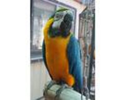 Tyler, Macaw For Adoption In Elizabeth, Colorado