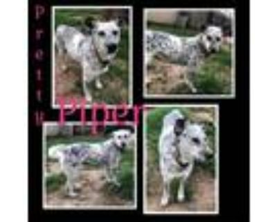 Adopt Mercy/piper a White - with Tan, Yellow or Fawn Retriever (Unknown Type) /