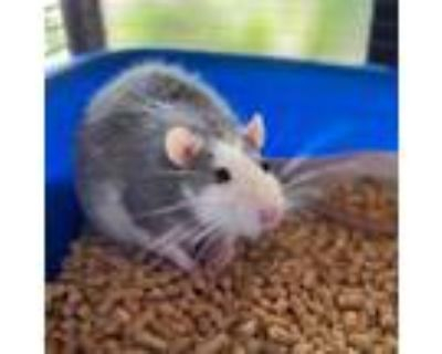 Adopt Noodle (and Ollie) a Rat