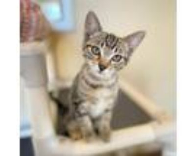 Adopt Trout a Brown or Chocolate Domestic Shorthair / Mixed cat in