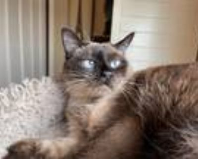 Adopt Penny a Siamese / Mixed (short coat) cat in Alpharetta, GA (30736353)
