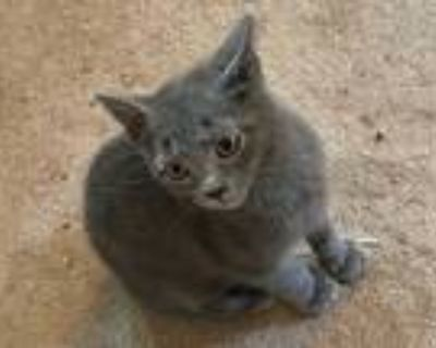 Adopt summer a Gray or Blue Domestic Shorthair / Mixed (short coat) cat in